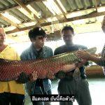 ทึ่ง!! ปลาช่อนอเมซอนยักษ์